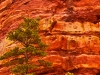 Red Rock Tree